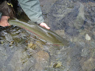 rainbow_trout_009
