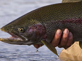 Rainbow Trout on small stream