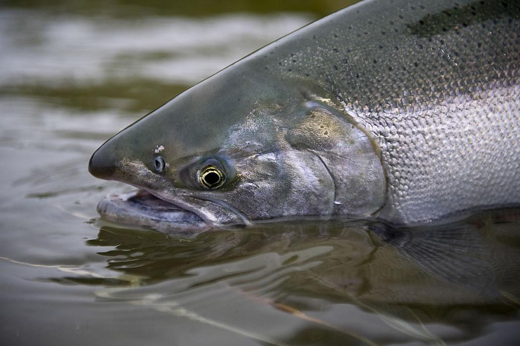 Alaska king salmon fishing gallery for Salmon fishing in alaska
