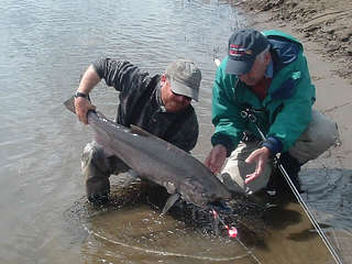 king_salmon_003