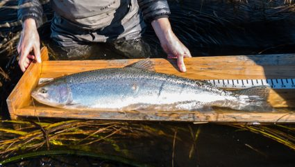 Fish Measuring Boxes for Trophy Rainbow Trout